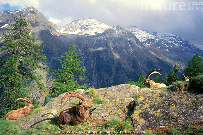 Ibex group resting in sun {Capra ibex ibex} Gran Paradiso NP, Alps, Italy  ,  ALPINE,ALPS,ANTELOPES,ARTIODACTYLA,EUROPE,GOATS,GROUPS,HABITAT,HORIZONTAL,ITALY,LANDSCAPES,MAMMALS,MOUNTAINS,NATIONAL PARK,NP,PCL  ,  Philippe Clement