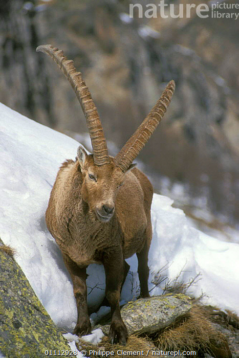Ibex on rocky ledge in snow {Capra ibex ibex} Gran Paradiso NP, Alps, Italy  ,  ALPINE,ANTELOPES,ARTIODACTYLA,EUROPE,GOATS,ITALY,MAMMALS,NATIONAL PARK,NP,PCL,ROCKY,SNOW,VERTICAL  ,  Philippe Clement