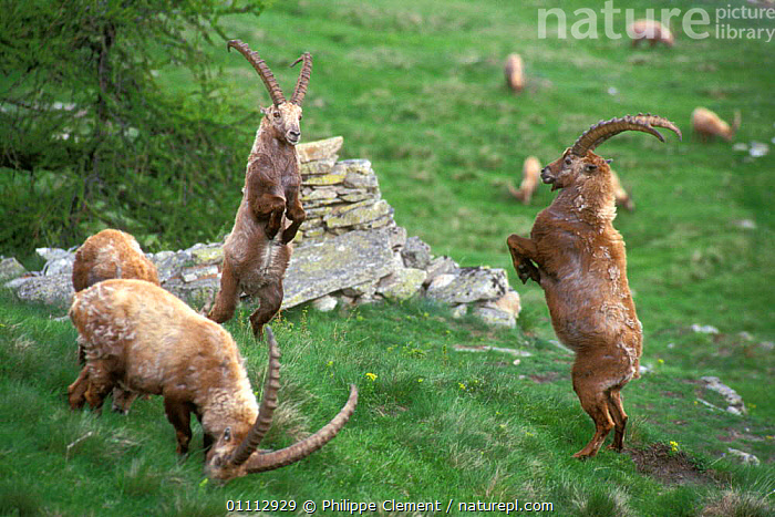 Ibex males fighting for dominance {Capra ibex ibex} Gran Paradiso NP, Alps, Italy  ,  AGGRESSION,ALPINE,ANTELOPES,ARTIODACTYLA,BEHAVIOUR,CLEMENT,COMPETITION,CONCEPTS,DOMINANCE,EUROPE,FIGHTING,GOATS,HORIZONTAL,ITALY,MALES,MAMMALS,NATIONAL PARK,NP,PCL  ,  Philippe Clement