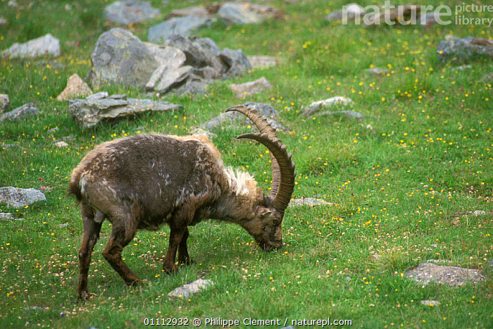 Ibex moulting {Capra ibex ibex} Gran Paradiso NP, Alps, Italy  ,  ALPINE,ANTELOPES,ARTIODACTYLA,EUROPE,FEEDING,GOATS,HORIZONTAL,ITALY,MAMMALS,MOULTING,NATIONAL PARK,NP,PCL,SPRING  ,  Philippe Clement