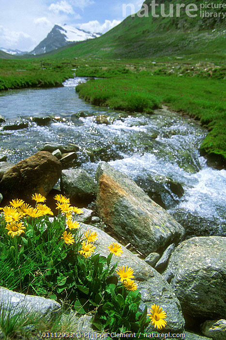 Large flowered Leopard's bane flowering beside mountain stream {Doronicum grandiflorum} Gran Paradiso NP, Alps, Italy  ,  ALPINE,ALPS,EUROPE,FLOWERS,ITALY,LANDSCAPES,NP,PCL,PLANTS,RIVERS,STREAMS,VERTICAL,NATIONAL PARK  ,  Philippe Clement