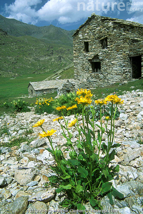 Large flowered Leopard's bane in flower beside mountain house {Doronicum grandiflorum} Gran Paradiso NP, Alps, Italy  ,  ALPINE,BUILDINGS,EUROPE,FLOWERS,HOUSE,ITALY,LANDSCAPES,MOUNTAIN,PLANTS,VERTICAL,YELLOW  ,  Philippe Clement