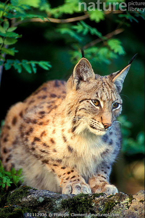 Lynx portrait {Lynx lynx} captive Bayerischer Wald NP, Germany  ,  CARNIVORES,EUROPE,GERMANY,MAMMALS,PORTRAITS,RESERVE,VERTICAL  ,  Philippe Clement