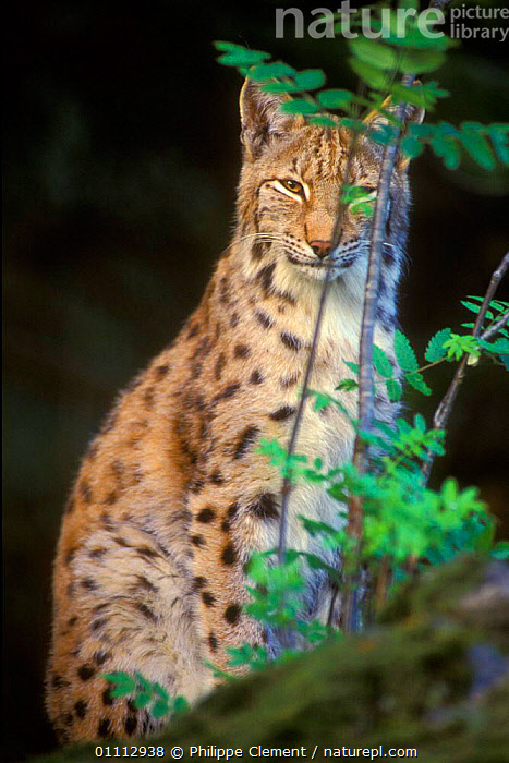 Lynx portrait {Lynx lynx} captive Bayerischer Wald NP, Germany  ,  CARNIVORES,EUROPE,GERMANY,MAMMALS,NP,PCL,PORTRAITS,RESERVE,VERTICAL,NATIONAL PARK  ,  Philippe Clement