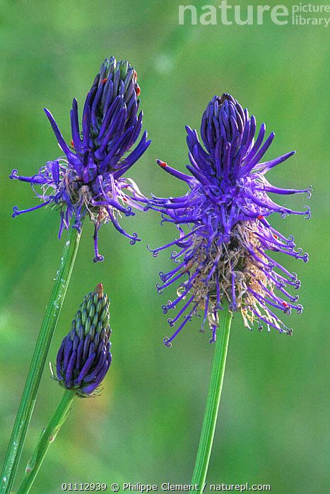 Micheli's rampion in flower {Phyteuma michellii} Gran Paradiso NP, Alps, Italy  ,  ALPINE,BLUE,EUROPE,FLOWERS,ITALY,PLANTS,PURPLE,VERTICAL  ,  Philippe Clement