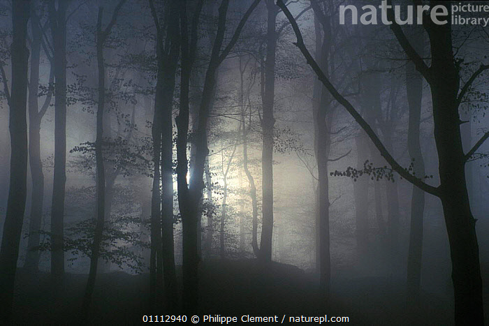 Mist in broadleaf forest at dawn, Luxembourg  ,  DAWN,HORIZONTAL,LIGHT,MISTY,MYSTERIOUS,PCL,WOODLANDS,EUROPE  ,  Philippe Clement