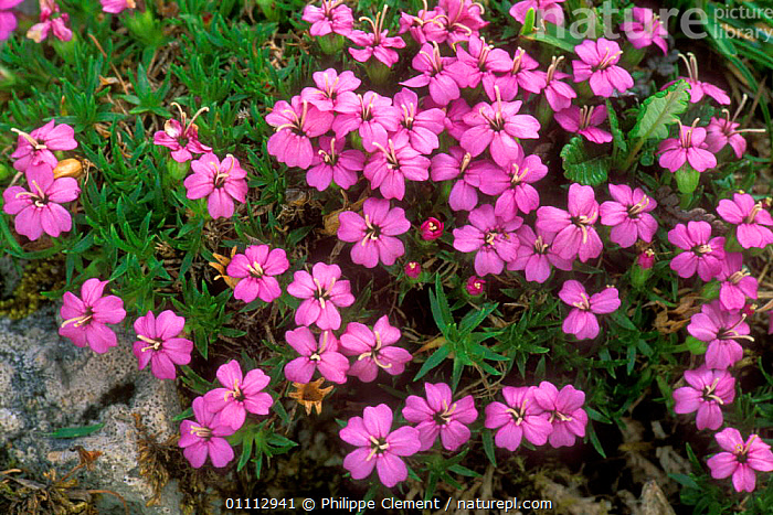Moss campion in flower {Silene acaulis} Gran Paradiso NP, Alps, Italy  ,  ALPINE,EUROPE,FLOWERS,HORIZONTAL,ITALY,PINK,PLANTS,RESERVE  ,  Philippe Clement