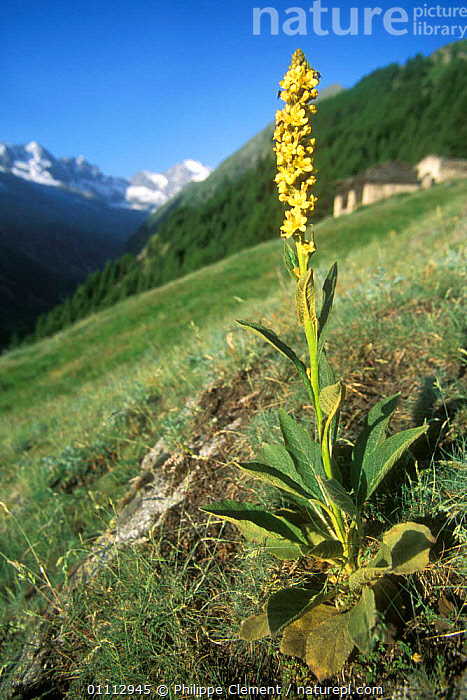Aaron's rod (mullein) flower {Verbascum thapsus} Gran Paradiso NP, Alps, Italy  ,  ALPINE,EUROPE,FLOWERS,HABITAT,ITALY,LANDSCAPES,PLANTS,VERTICAL,YELLOW  ,  Philippe Clement