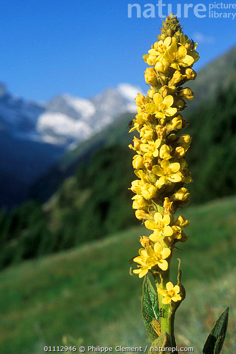 Close up of Aaron's rod (mullein) flower {Verbascum thapsus} Gran Paradiso NP, Alps, Italy  ,  ALPINE,EUROPE,FLOWERS,ITALY,PLANTS,VERTICAL,YELLOW  ,  Philippe Clement