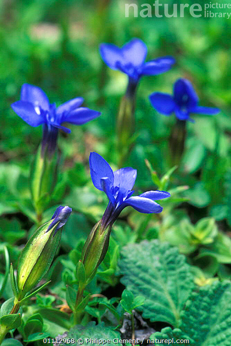 Spring gentian flowers {Gentiana verna} Gran Paradiso NP, Alps, Italy  ,  ALPINE,BLUE,EUROPE,FLOWERS,ITALY,VERTICAL  ,  Philippe Clement