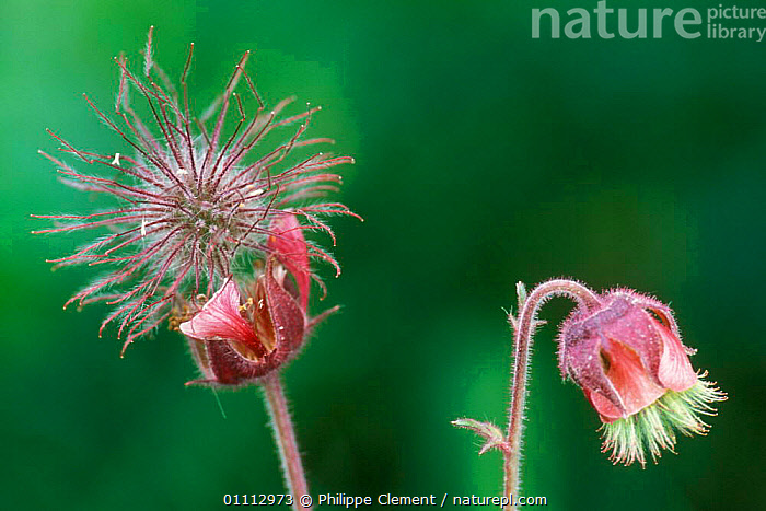 Water avens seedheads {Geum rivale} Gran Paradiso NP, Alps, Italy  ,  ALPINE,EUROPE,FLOWERS,ITALY,PLANTS,SEEDS,WETLANDS  ,  Philippe Clement