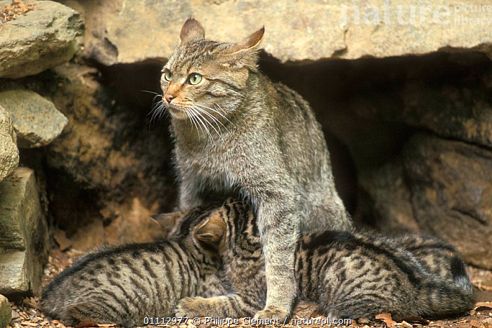 Wild cat with suckling kittens {Felis silvestris} captive, Bayerischer Wald NP, Germany  ,  BABIES,BEHAVIOUR,CARNIVORES,CATS,EUROPE,FAMILIES,FEEDING,GERMANY,HORIZONTAL,MAMMALS,NP,PARENTAL,PCL,SUCKLING,NATIONAL PARK  ,  Philippe Clement