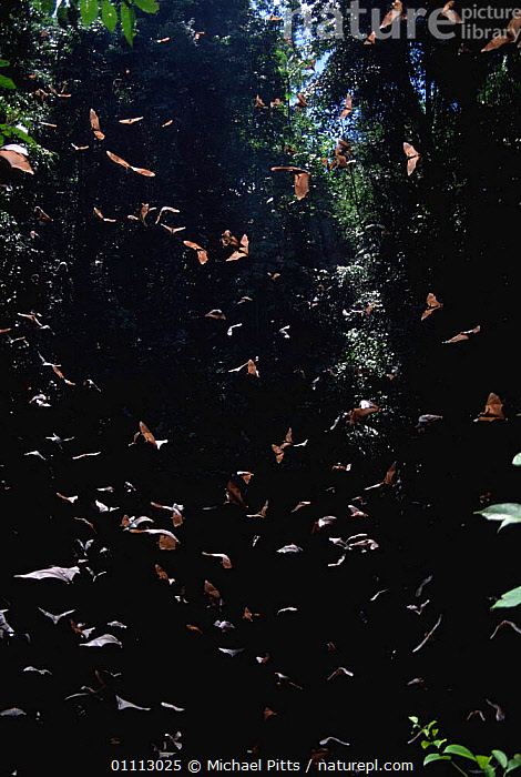 Barebacked fruit bats {Dobsonia sp} flying from Ormoru sink hole, Papua New Guinea  ,  GROUPS,CHIROPTERA,VERTICAL,PAPUA NEW GUINEA,TREES,MAMMALS,Plants,Catalogue1  ,  Michael Pitts