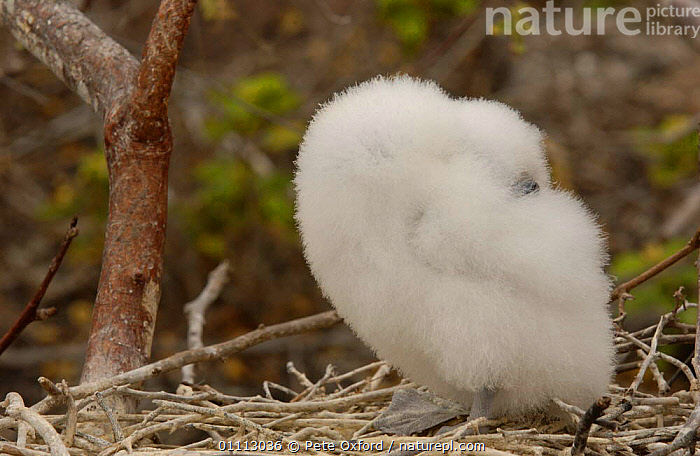 Red footed booby chick in nest {Sula sula}. Genovesa Is. Galapagos sequence 1/2  ,  BABIES,BIRDS,CHICK,CRYPTIC,FLUFFY,GALAPAGOS,ONE,SEABIRDS,WHITE  ,  Pete Oxford