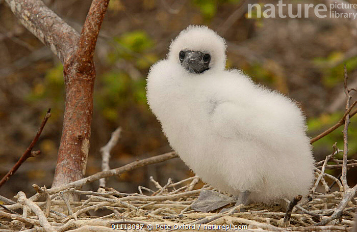 Red-footed booby chick in nest {Sula sula} Genovesa Is. Galapagos sequence 2/2  ,  BABIES,BIRDS,BOOBIES,CHICKS,FLUFFY,GALAPAGOS,ONE,WHITE  ,  Pete Oxford
