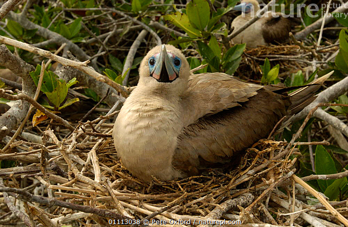 Red-footed booby sitting on nest {Sula sula. Genovesa Is. Galapagos  ,  BIRDS,BOOBIES,GALAPAGOS,NESTS,ONE,SEABIRDS  ,  Pete Oxford