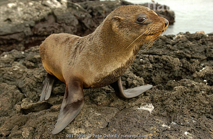 Galapagos Fur Seal portrait {Arctocephalus galapagoensis} Santiago Is, Galapagos  ,  FLIPPERS,MAMMALS,MARINE,ONE,PINNIPEDS,PORTRAITS,SEALS,SOUTH-AMERICA  ,  Pete Oxford