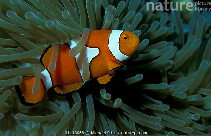 Clown anemonefish {Amphiprion percula} in anemone tentacles, Papua New Guinea  ,  SYMBIOSIS,TROPICAL,FISH,DAMSELFISH,MARINE,MIXED SPECIES,UNDERWATER,Concepts,Partnership, Partnership  ,  Michael Pitts