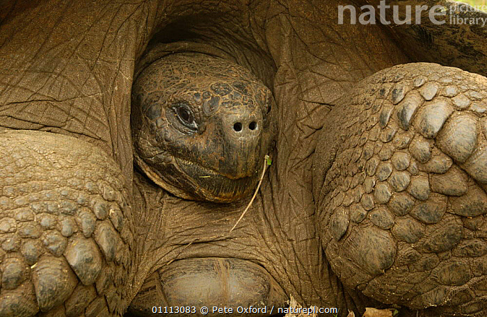 Galapagos Giant tortoise close up portrait - dome form {Geochelone elephantopus} retreating into shell. Galapagos Is  ,  CRYPTIC,DEFENSIVE,HEADS,NOSTRILS,OUTSTANDING,PORTRAITS,REPTILES,SCALES,SKIN,TORTOISES,VULNERABLE,BEHAVIOUR,CHELONIA, TORTOISES  ,  Pete Oxford