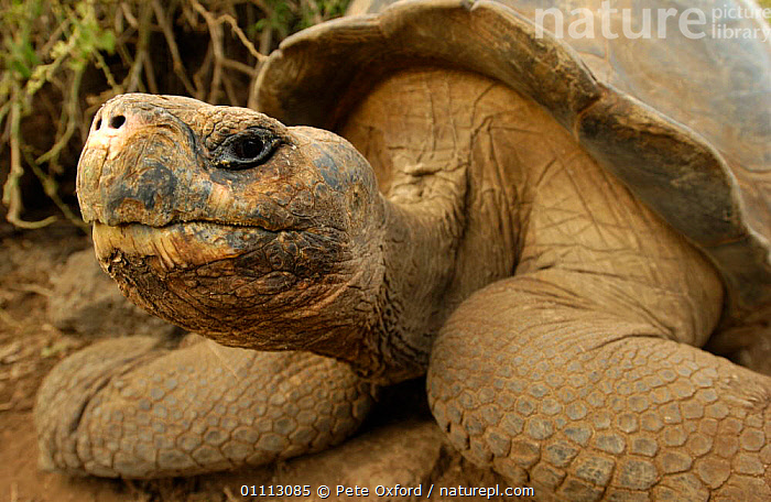 Galapagos Giant tortoise portrait {Geochelone elephantopus} Galapagos Is  ,  GALAPAGOS,HEADS,HUMOUROUS,OUTSTANDING,REPTILES,RESEARCH,SOUTH AMERICA,TORTOISES,VULNERABLE,CHELONIA, TORTOISES  ,  Pete Oxford