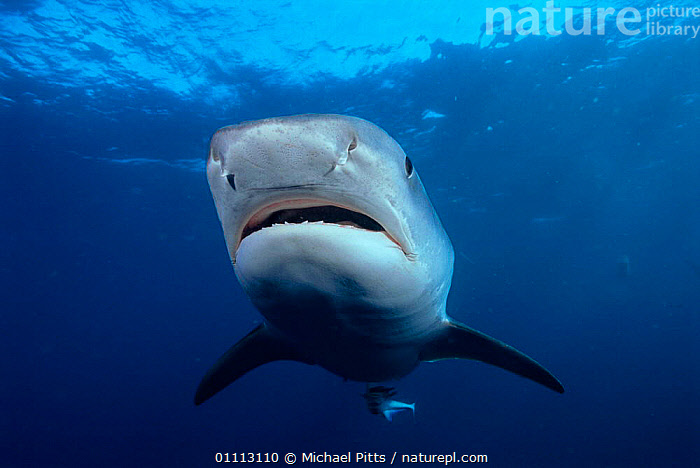 Tiger shark {Galeocerdo cuvieri} South Africa, Atlantic.  ,  AFRICA,ATLANTIC,CONCEPTS,DANGEROUS,FACES,FISH,FRIGHTENING,HEADS,HORIZONTAL,MARINE,PELAGIC,PORTRAITS,SHARKS,SOUTH,SOUTHERN AFRICA,TEMPERATE,UNDERWATER, Fish  ,  Michael Pitts