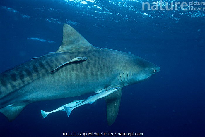 Tiger shark {Galeocerdo cuvieri} with remora fish. South Africa, Atlantic. NB stripes  ,  AFRICA,ATLANTIC,FISH,HORIZONTAL,MARINE,MIXED SPECIES,MP,PELAGIC,REMORA,SHARKS,SOUTHERN AFRICA,SYMBIOSIS,TEMPERATE,UNDERWATER,CONCEPTS,PARTNERSHIP, Fish  ,  Michael Pitts