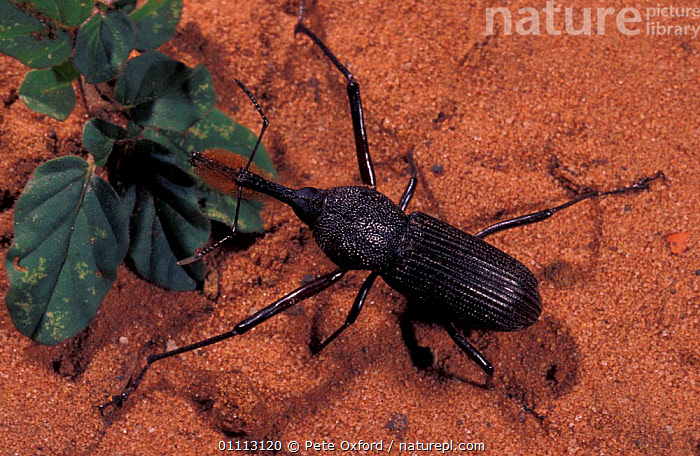 Bearded weevil {Rhinostomus barbirostris} South America  ,  BEETLE,BEETLES,BLACK,COLEOPTERA,HAIRY,INSECT,INSECTS,INVERTEBRATES,NOSES,SOUTH AMERICA,WEEVILS  ,  Pete Oxford