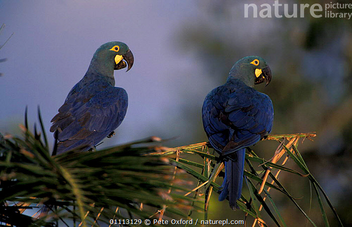 Lear's macaw (wild) Endangered {Anodorhynchus leari} Caatinga, Brazil on brink of extinction  ,  SOUTH AMERICA,TWO,WILD,BIRDS,MACAWS,LEAR,PARROTS  ,  Pete Oxford