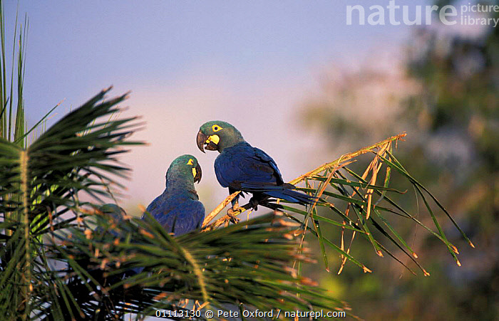 Lear's macaw (wild) Endangered {Anodorhynchus leari} Caatinga, Brazil on brink of extinction  ,  LEAR,MACAWS,BIRDS,WILD,TWO,SOUTH AMERICA,PARROTS  ,  Pete Oxford