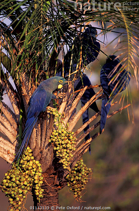 Lear's macaws {Anodorhynchus leari} feeding on Licuri palm fruit. Caatinga, Brazil. END on  ,  PLANTS,SOUTH AMERICA,WILD,VERTICAL,EXTINCTION,ENDANGERED,BRAZIL,BRINK,BIRDS,FRUIT,GROUPS,FLOCKS,LEAR,PARROTS,MACAWS  ,  Pete Oxford