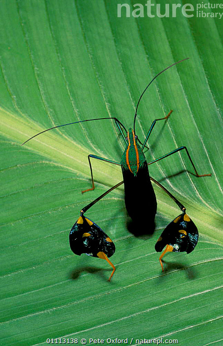 Passion fruit vine bug {Anisocelis sp} Amazonia, Peru  ,  BUGS,CRYPTIC,HEMIPTERA,INSECT,INSECTS,INVERTEBRATES,LEAF,LEAVES,PLANTS,SOUTH AMERICA  ,  Pete Oxford
