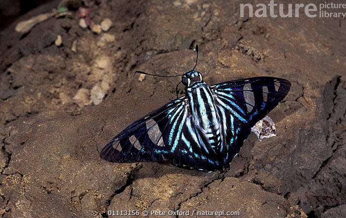 Blue banded skipper butterfly feeds on bird droppings {Elbella polyzona} Peru Heath river  ,  FAECES,FEEDING,INSECT,INSECTS,INVERTEBRATES,LEPIDOPTERA,SOUTH AMERICA,TROPICAL RAINFOREST,BUTTERFLIES  ,  Pete Oxford