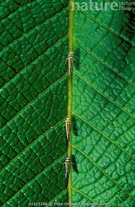Three Leaf hoppers on leaf {Cicadellidae} Manu cloud forest, Peru  ,  CLOUD FOREST,GREEN,INSECTS,LEAVES,SOUTH AMERICA,INVERTEBRATES  ,  Pete Oxford