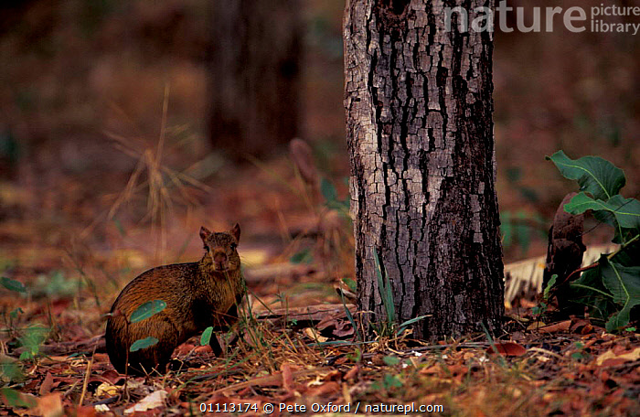 Black-rumped agouti {Dasyprocta prymnolopha} Piaui, Brazil  ,  AGOUTIS,MAMMALS,RODENTS,SOUTH AMERICA  ,  Pete Oxford