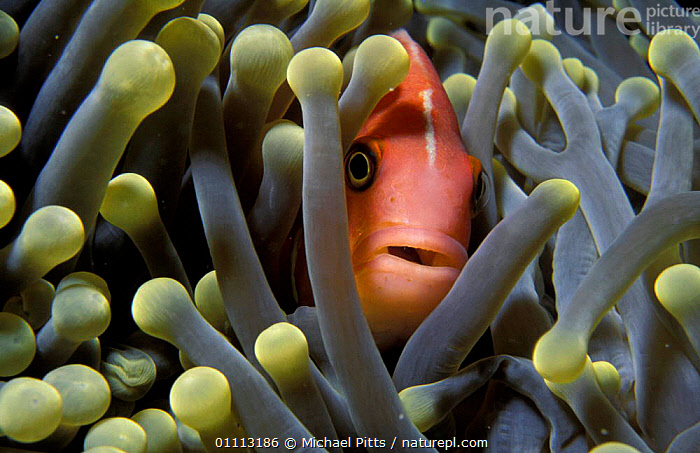 Pink anemonefish {Amphiprion perideraion} in anemone. Palau, Micronesia  ,  ANEMONE,FISH,MARINE,PACIFIC OCEAN,SYMBIOSIS,TENTACLES,TROPICAL,UNDERWATER,CONCEPTS,PARTNERSHIP, Partnership, Partnership, Partnership, Partnership,Catalogue1  ,  Michael Pitts