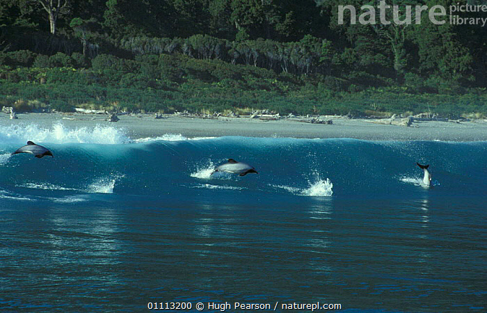 Hector's dolphins surfing {Cephalorhynchus hectori} Jackson's Bay, New Zealand  ,  NEW ZEALAND,COASTAL WATERS,FUN,JACKSON,MAMMALS,SWIMMING,WAVES,THREE,COASTS,LANDSCAPES,SURF,CETACEANS,HECTOR,DOLPHINS, Mammals  ,  Hugh Pearson