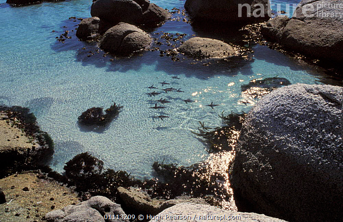 Black footed / Jackass penguins swimming {Spheniscus demersus} Cape Town, South Africa  ,  AERIAL,COASTS,FLOCKS,GROUPS,SOUTHERN AFRICA,SURFACE,UNDERWATER,VIEW,BIRD,BIRDS,SEABIRDS,PENGUINS ,AERIALS ,JACKASS, Seabirds  ,  Hugh Pearson