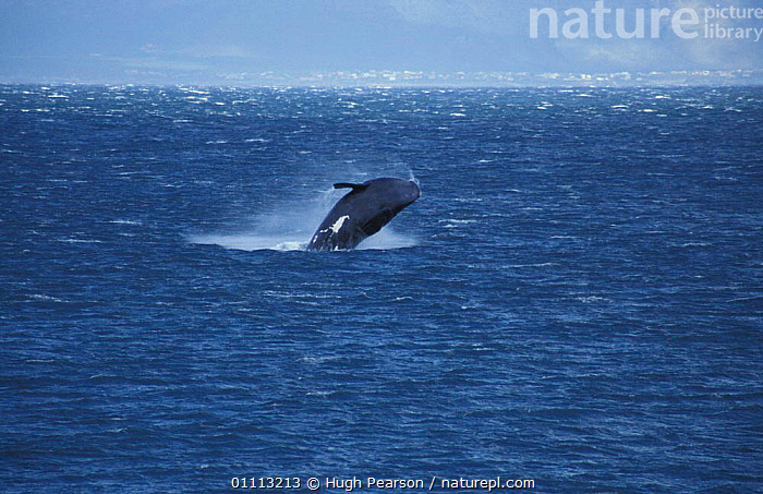Southern right whale breaching {Balaena glacialis australis} South Africa  ,  ACTION,INDIAN OCEAN,SEA,SURFACE,JUMPING,WHALES,COASTAL WATERS,CETACEANS,MARINE,SOUTHERN AFRICA,MAMMALS  ,  Hugh Pearson