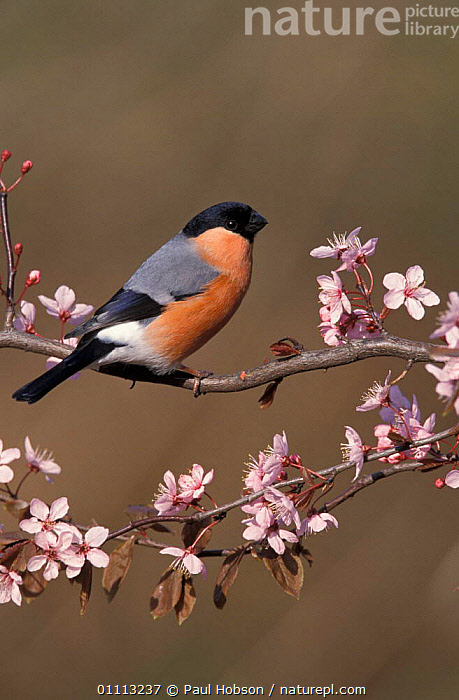 Bullfinch male on blossom {Pyrrhula pyrrhula} UK  ,  SPRING,VERTICAL,EUROPE,ENGLAND,BIRDS,BRITISH,MALES,FLOWERS,FINCHES  ,  Paul Hobson