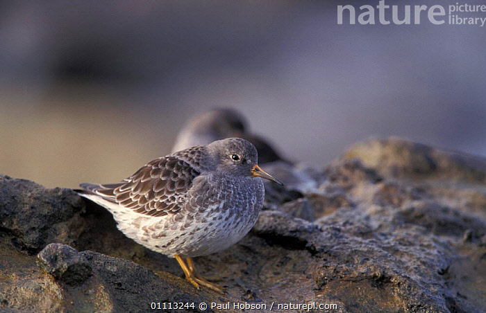 Purple sandpiper {Calidris maritima} UK  ,  BIRDS,BRITISH,ENGLAND,EUROPE,COASTS,HORIZONTAL,WADERS,SANDPIPERS  ,  Paul Hobson