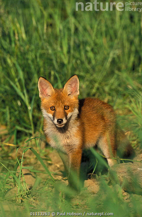 Red fox on farmland {Vulpes vulpes} Yorkshire, UK  ,  BARLEY,BRITISH,EUROPE,MAMMALS,CARNIVORES,ENGLAND,FOXES,DOGS,CANIDS  ,  Paul Hobson