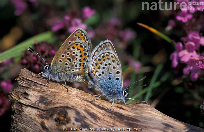 Silver studded blue butterflies mating {Plebejus argus} Anglesea, Wales, UK  ,  INSECT,INSECTS,COUPLE,MATING BEHAVIOUR,LEPIDOPTERA,MALE FEMALE PAIR,EUROPE,BEHAVIOUR,BRITISH,INVERTEBRATES,COPULATION,Reproduction  ,  Paul Hobson