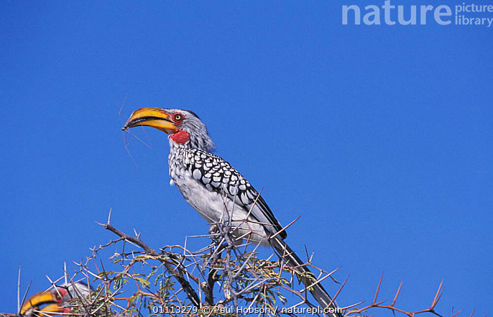 Southern yellow billed hornbill {Tockus leucomelas} Namibia  ,  SOUTHERN AFRICA,PORTRAIT,PORTRAITS,BIRDS,HORNBILLS,HORIZONTAL  ,  Paul Hobson