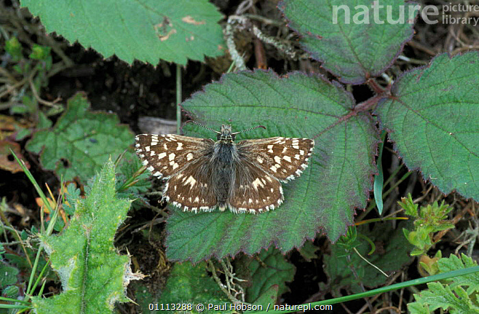 Grizzled skipper butterfly {Pyrgus malvae} UK  ,  HORIZONTAL,INSECTS,LEPIDOPTERA,INVERTEBRATES,ENGLAND,BRITISH,BUTTERFLIES,EUROPE,CREWS  ,  Paul Hobson