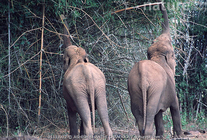 Indian elephants feed on bamboo {Elephas maximus} Bandipur Tiger Reserve, Karnataka, India.  ,  INDIA,PROBOSCIDS,CALF,MAMMALS,FEEDING,PLANTS,INDIAN SUBCONTINENT,ASIA,TWO,Elephants  ,  ASHISH SHANTHI CHANDOLA
