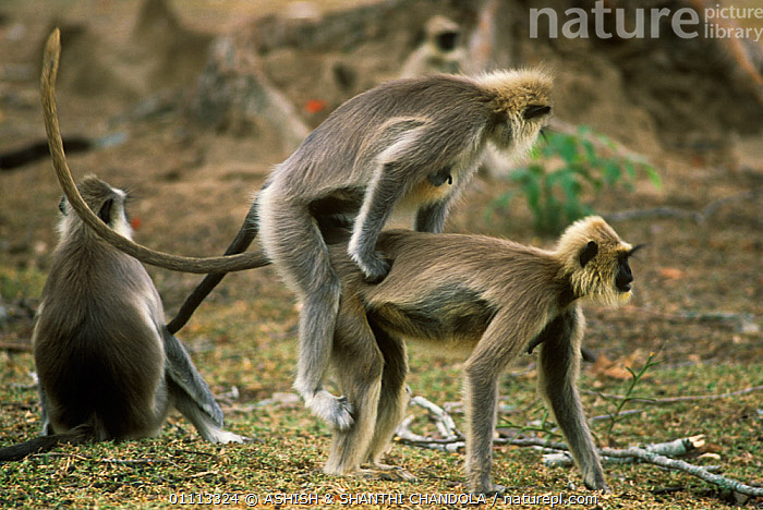 Southern plains grey / Hanuman langur {Semnopithecus dussumieri} female mounting another female, showing dominance,  Bandipur NP, Karnataka, India  ,  ASIA,Cercopithecidae,DOMINANCE,DUSSUMIERS MALABAR LANGUR,DUSSUMIERS SACRED LANGUR,FEMALES,GROUPS,HANUMAN LANGUR,INTERESTING,LANGURS,MAMMALS,PRESBYTIS ENTELLUS,PRIMATES,SOCIAL BEHAVIOUR,SOUTHERN PLAINS GREY LANGUR,VERTEBRATES  ,  ASHISH & SHANTHI CHANDOLA