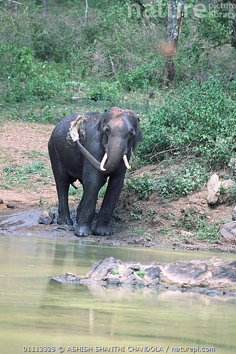 Indian elephant male squirting water from trunk {Elephas maximus} Bandipur NP, India  ,  VERTICAL,ELEPHANTS,KARNATAKA,MALES,ASIA,BATHING,BEHAVIOUR,MAMMALS,INDIAN SUBCONTINENT,RESERVE,PROBOSCIDS  ,  ASHISH SHANTHI CHANDOLA