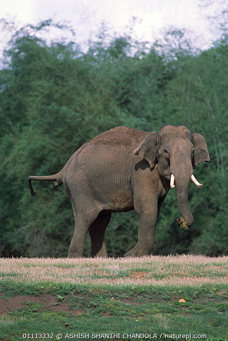 Indian elephant male looking aggressive {Elephas maximus} Bandipur NP, Karnataka, India.  ,  RESERVE,INDIAN SUBCONTINENT,ASIA,INDIA,ELEPHANTS,AGGRESSION,BEHAVIOUR,MAMMALS,VERTICAL,PROBOSCIDS,MALES,Concepts  ,  ASHISH SHANTHI CHANDOLA