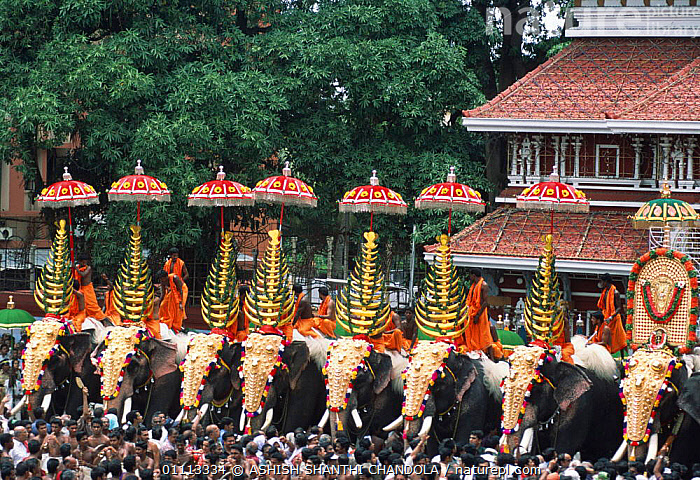 Decorated Indian elephants in Pooram festival parade, Thrissur, Kerala, India  ,  COLOURFUL,PEOPLE,CITIES,DOMESTICATED,ASIA,PROBOSCIDS,CEREMONIES,INDIAN SUBCONTINENT,TRADITIONAL,MAMMALS,CEREMONY,Elephants  ,  ASHISH SHANTHI CHANDOLA