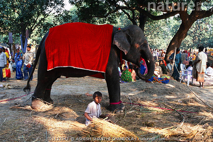 Domesticated Indian elephant {Elephas maximus} for sale at Sonepur fair, Bihar, India  ,  PROBOSCIDS,ASIA,ELEPHANTS,MAMMALS,TRADE,INDIAN SUBCONTINENT,PEOPLE  ,  ASHISH SHANTHI CHANDOLA